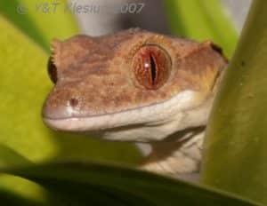 gecko à crête