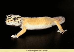 Gecko tacheté
