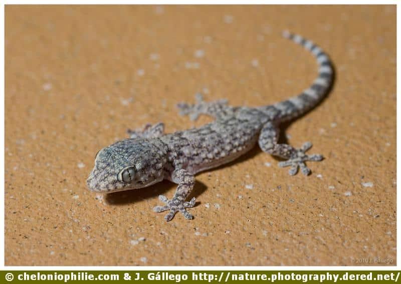 Lézard salamandre
